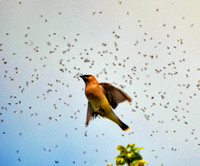 Waxwing gets bugs